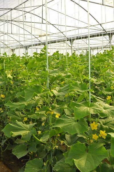 دانلود طرح توجیه فنی مالی و اقتصادی احداث گلخانه خیار و گوجه فرنگی  سال ۹۶